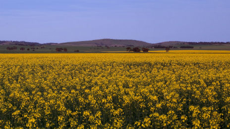 Paddock of yellow flowers of a canola crop.