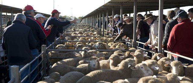Penned sheep being sold to farmers.