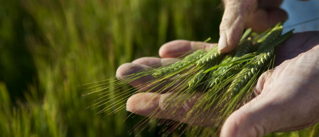 Hand holding a green ear of wheat.